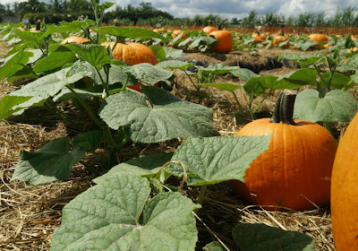 Pumpkin Patch at Evergreen Tree Farm