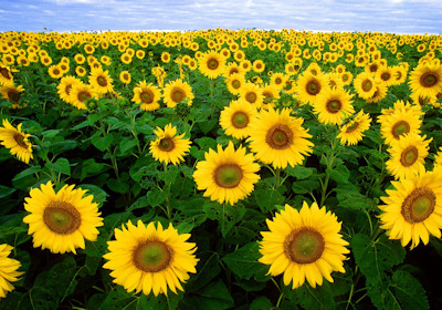 sunflowers at evergreen tree farm