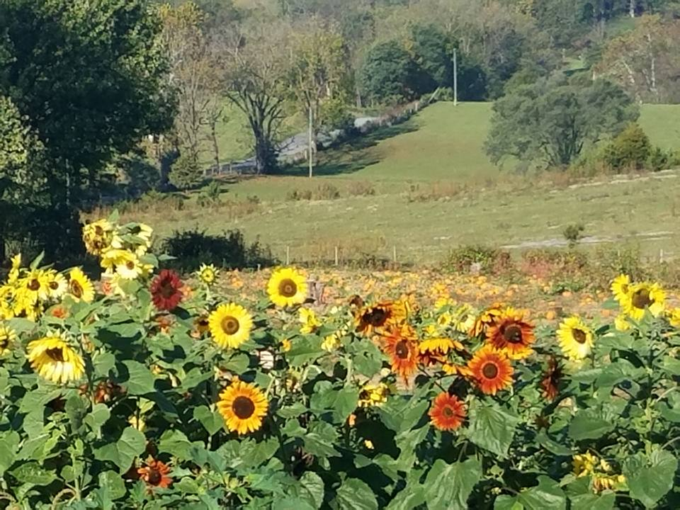 Field of Sunflowers at Every Souls Acres