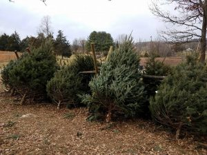 Christmas trees at every soul acres