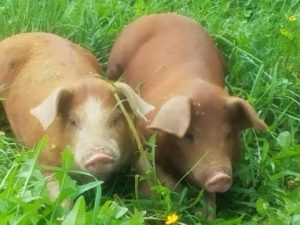 pigs at every soul acres
